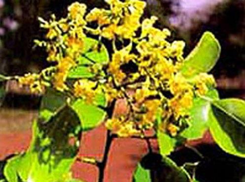 Pterocarpus Santallin