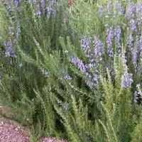 Rosemarinum Officinalis