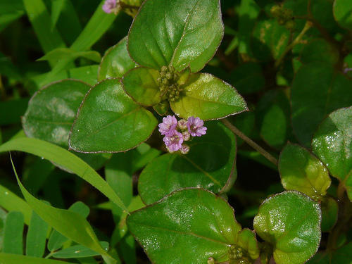 Boerhaavia Diffusa Herb