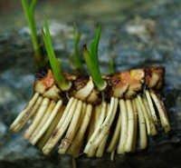 Acorus Calamus Rhizomes