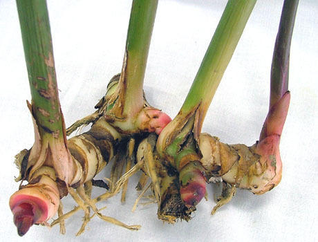 Alpinia Galanga Rhizomes