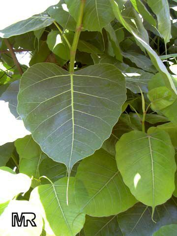 Ficus Religiosa Bark