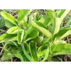 Tylophora Indica Leaves