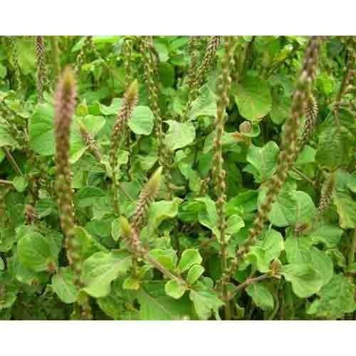 Achyranthus Aspara Plant