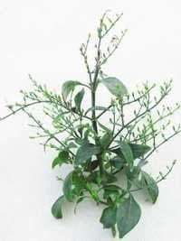 Andrographis Paniculata Herb Extract