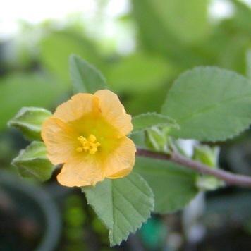 Sida cordifolia Herb