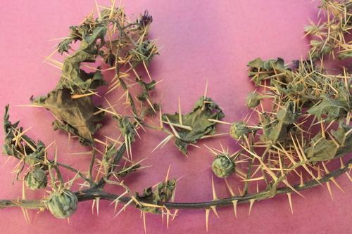 Solanum Xanthocarpum Herb