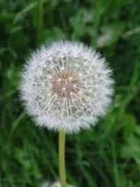 Dandelion Extracts
