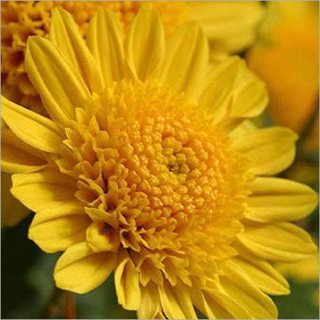 Chrysanthemum Flower Plants