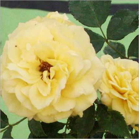 Friesia Rose