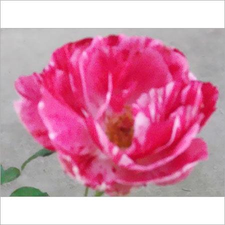 Scentimental Flower