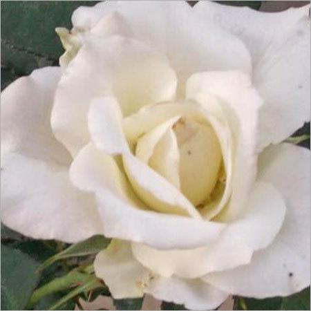 Tineke Flower Plants