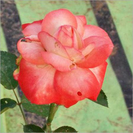Cabaret Rose