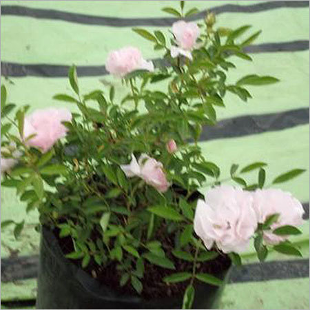 Ahalya Rose Plants