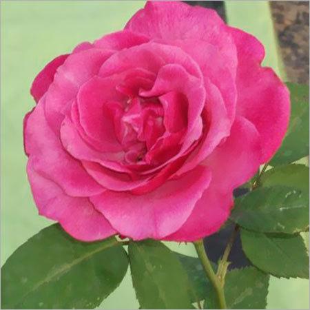 Anusuya Rose Plant