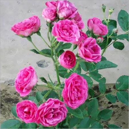 Flomboyant Flower Plants