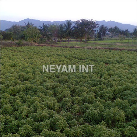 Herbal Coleus