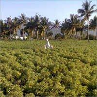 Green Coleus