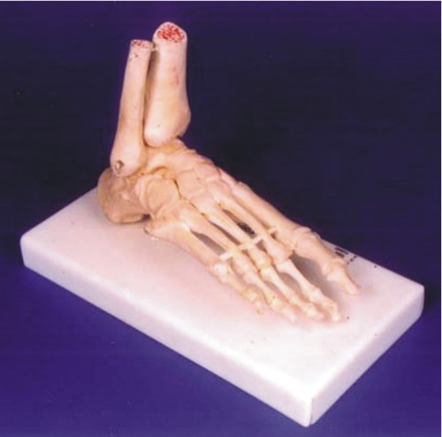 Skeletal Model of Human Foot