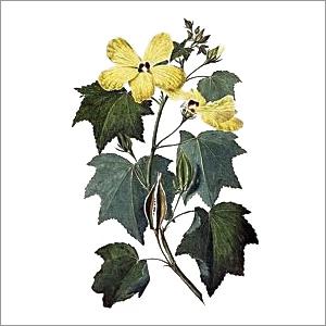Aromatic Seeds (Muskdana Plant ,Musk Seed)