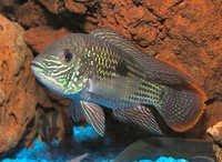 Fish Green Terror