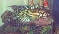 Fish Jack Dempsey