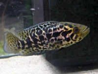 Fish Jaguar Cichlid