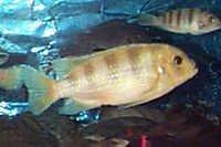 Fish Kenyi Cichlid
