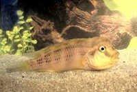 Fish Lionhead Cichlid
