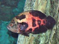 Fish Oscar