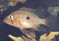Fish Pearl Cichlid
