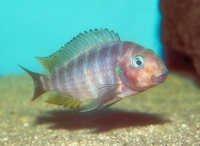 Fish Poll's Tropheus