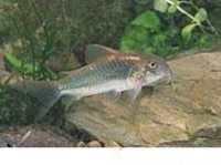 Fish Bronze Cory