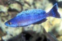 Fish Sardine Cichlid
