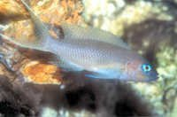 Fish White-Tailed Brichardi