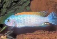 Fish Trewavas Red-Finned Cichlid