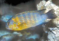 Fish Tropheops Sp.