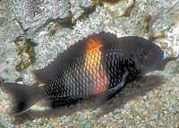 Fish Tropheus species
