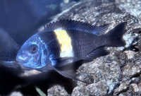 Fish White Spotted Cichlid