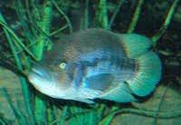 Fish Wolf Cichlid