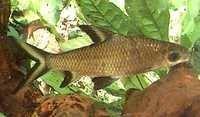 Fish Bala