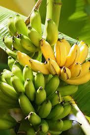 Rasthali Banana