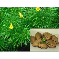 Kaner Ornamental Tree Seeds ( Thevetia peruviana )