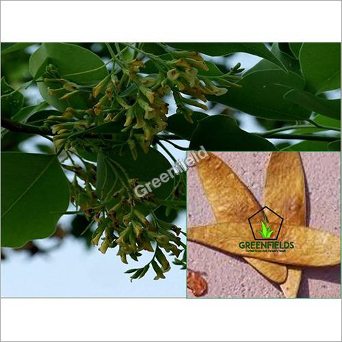 Sissoo Tree Seeds ( Dalbergia Sissoo )