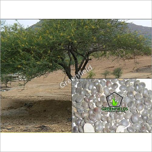 Babool Tree Seeds ( Acacia Nilotica )