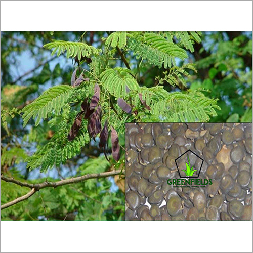 White Khair Tree Seeds (Acacia Catechu)