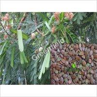 Subabool Tree Seeds (Leucaena Leucocephala)