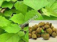 Khamer Tree Seeds (Gmelina Arborea)