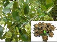 Red Sandal Tree Seeds (Pterocarpus Santalinus)