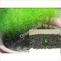 Yellow Shatavari Seeds (Asparagus Racemosus.)